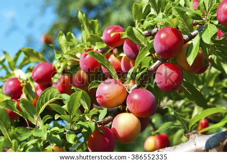 Excellent fruits of plum tree - stock photo