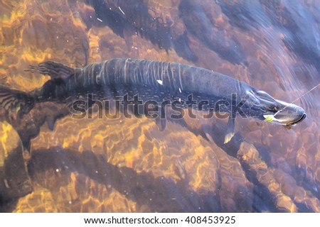 Exceptional trophy (angling delight) fishing in Norway: large more then 10kg pike in clear fjeld river water - stock photo