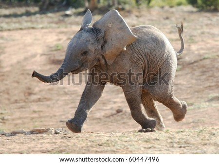 Excited baby African elephant running to a waterhole - stock photo