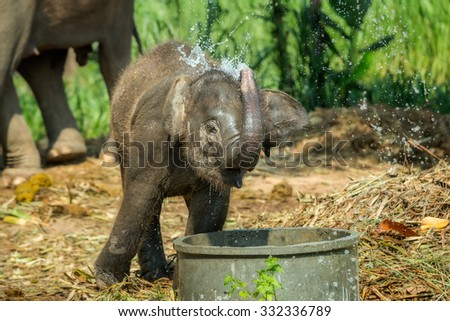 Excited baby elephant drinking water