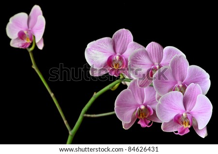 Excited branch of orchid flowers on black - stock photo