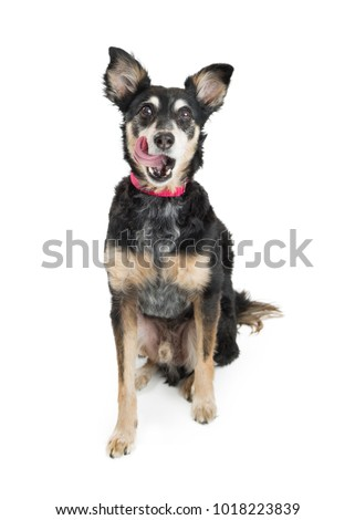 Excited samll Chihuahua mixed breed dog sitting on white background with tongue out, licking lips