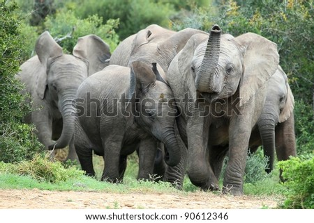Excited young African elephants approaching a waterhole - stock photo