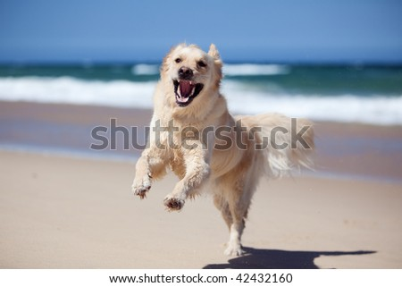 Excited young golden retriever jumping and running on the beach - stock photo