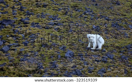Exhausted and hungry polar bear in summer Arctic - Franz Josef Land  - stock photo