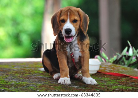 exhausting beagle - stock photo