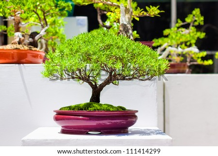 Exhibition of  japanese bonsai trees - stock photo