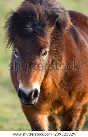 Exmoor Pony walking towards the camera, close up of the head, against a blurred natural background - stock photo