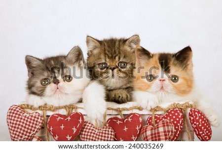 Exotic and Persian kittens sitting inside white basket decorated with red hanging hearts on white fake faux fur background  - stock photo