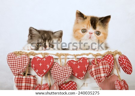 Exotic and Persian kittens sitting inside white basket decorated with red hanging hearts on white fake faux fur background