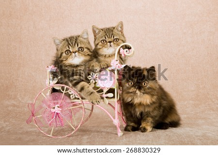 Exotic and Persian kittens sitting inside white metal cart decorated with floral ribbons bows and silk flowers on beige background
