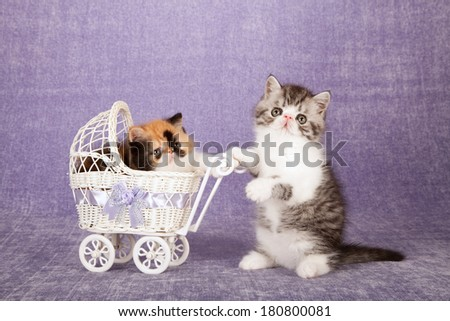 Exotic and Persian kittens with white toy pram baby buggy on lilac background