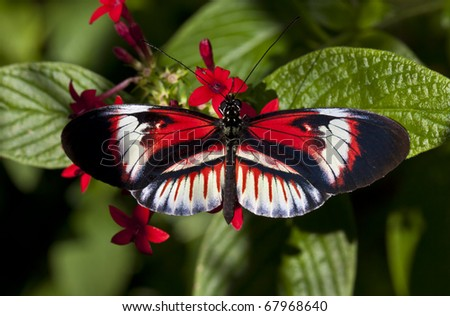 Exotic and tropical Heliconius butterfly called the  Piano ke