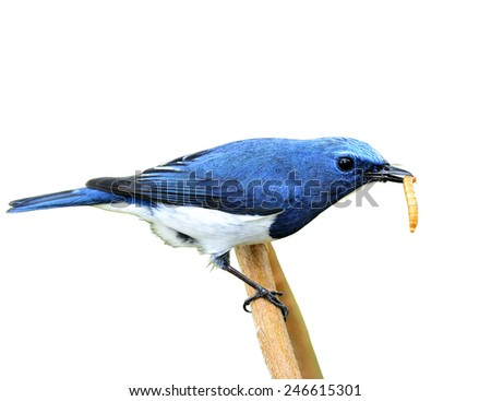 Exotic blue bird, Close up of ultramarine flycatcher carrying worm in his bills isolated on white background - stock photo