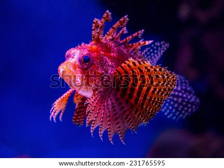 Exotic brightly decorated with red-orange fish on a blue-black background - stock photo