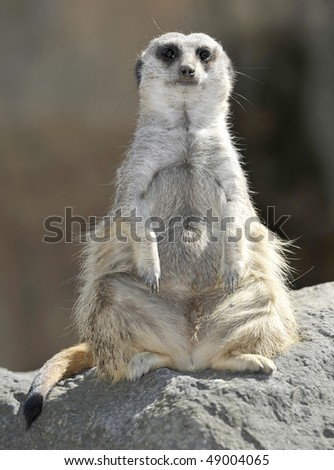 exotic cute african meerkat sitting on guard on rock, found in south africa, similar squirrel possum rat - stock photo