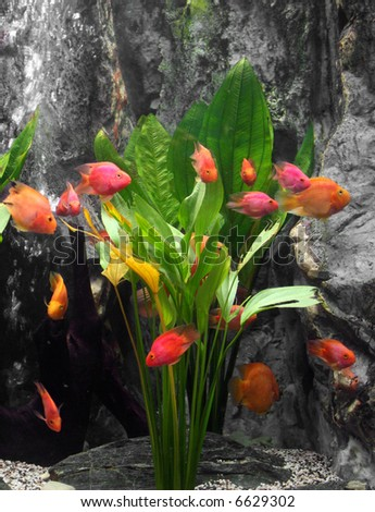 exotic fish set as a bunch of tulips - stock photo