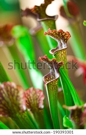 Exotic flower. Carnivorous pitcher plants  - stock photo