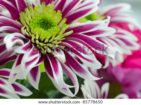 Exotic flower, Chrysanthemum, Asteraceae