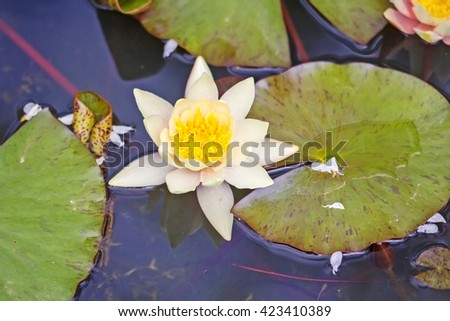 Exotic Flower Waterlily lotus on a water