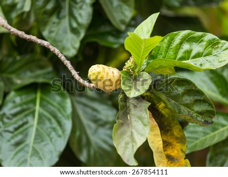 Exotic Fruit - Noni  - stock photo