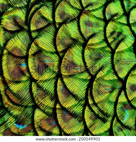 Exotic Green and Black Background Texture made of Green Peacock Bird's Feathers - stock photo