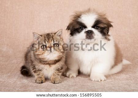 Exotic kitten and Pekingese puppy on beige background - stock photo