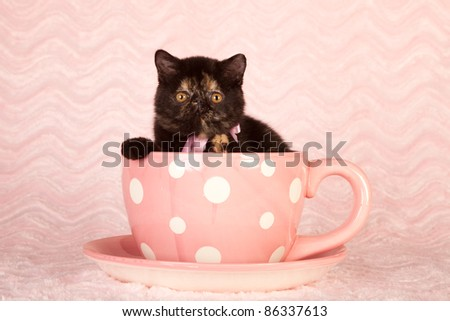Exotic kitten in large pink polka dot cup - stock photo