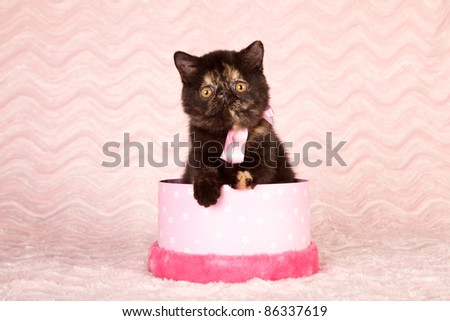 Exotic kitten sitting in pink gift box - stock photo
