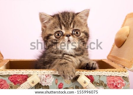 Exotic kitten sitting inside basket on lilac pink background - stock photo