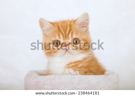 Exotic kitten sitting inside white fake fur basket against white fake fur background