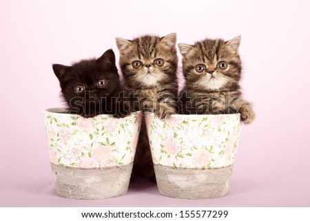 Exotic kittens sitting in pots containers on lilac pink background - stock photo
