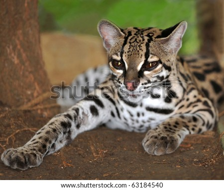 exotic margay cat or caucel lying on ground, feline reserve, guanacaste , costa rica, central america, jungle big cat, leopardus wiedii similar jaguar or leopard