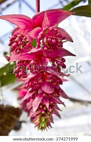 Exotic ornamental plant Rose Grape ( Medinilla Magnifica Melastomataceae).  - stock photo