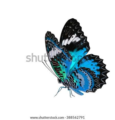 Exotic pale blue butterfly, the Leopard Lacewing fully wing stretching and standing on its legs isolated on white background