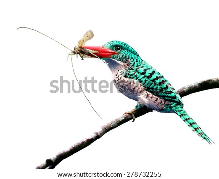 Exotic pale green bird carrying insect in her bills to feed the chicks isolated on white background - stock photo