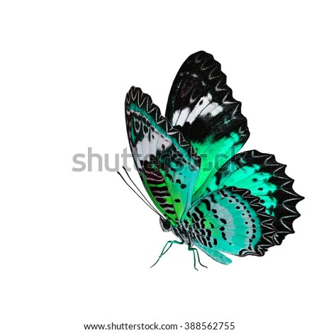 Exotic pale green butterfly, the Leopard Lacewing fully wing stretching and standing on its legs isolated on white background