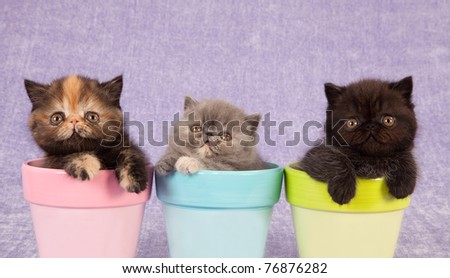 Exotic Persian kitten sitting inside bin on lilac background