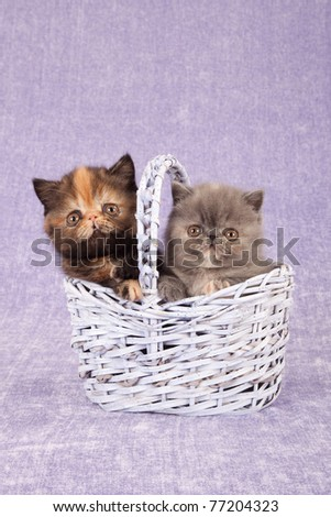 Exotic Persian kittens in lilac basket on lilac background - stock photo