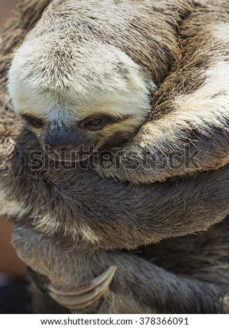 Exotic pet, a Pale-throated Sloth (Bradypus tridactylus)