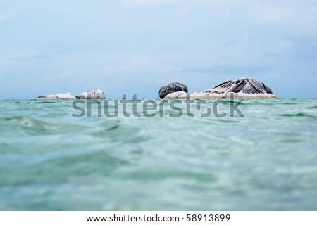 exotic pig island at belitung indonesia - stock photo