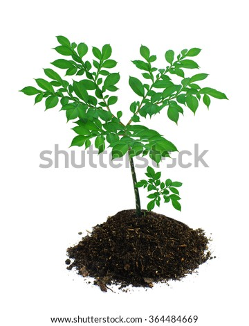 exotic plant Amorphophallus konjac, green big leaf and little sprig in ground, on white isolated, local focus, shallow DOF  - stock photo