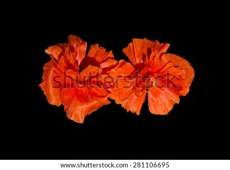 Exotic poppies intense orange color with raindrops isolated on black. Sri Lanka, Asia.  - stock photo