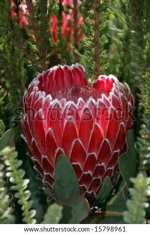 Exotic protea from South Africa - stock photo