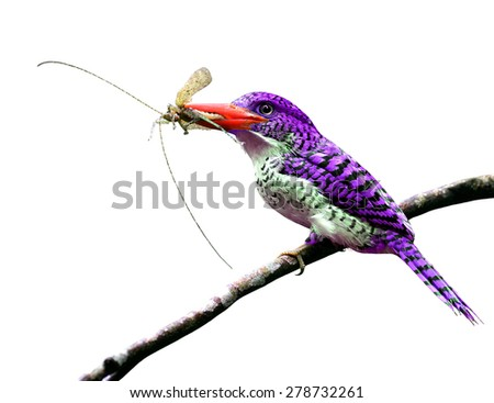 Exotic purple bird carrying insect in her bills to feed the chicks isolated on white background - stock photo