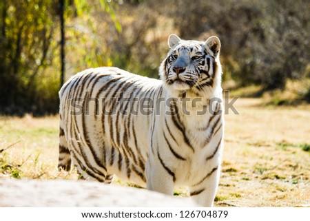 Exotic rare white tiger - stock photo