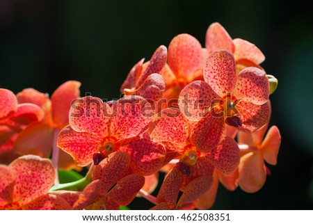 exotic red orchids Vanda growing on island Bali