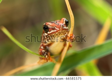 Exotic Reed Frog - stock photo