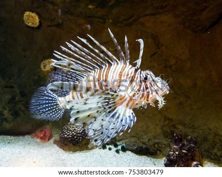 Rare Tropical Saltwater Fish Zebra Striped F...