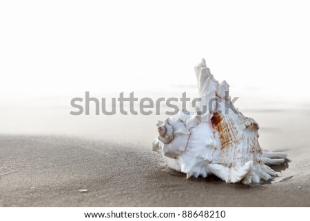 Exotic seashell on the sandy beach at sunrise - stock photo